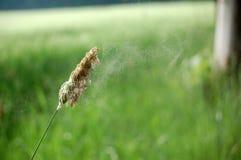 La poussière d'herbe et de fleur Photos stock