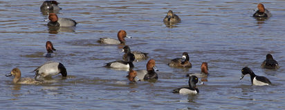 La précipitation de canards Photographie stock