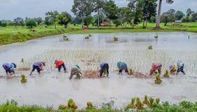 La pratica dell'agricoltore, un metodo antico, alla piantagione, al giacimento verde del risone con il bello cielo ed alla nuvola Immagini Stock Libere da Diritti