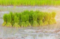 La pratica dell'agricoltore, un metodo antico, giacimento verde del risone in Tailandia, dal tono di effetto del chiarore della l Immagini Stock