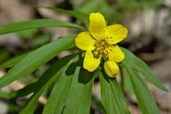 La première fleur de ressort est jaune Photos libres de droits