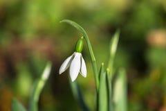 La première fleur de ressort est perce-neige Fond de source Photos libres de droits
