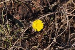 La première fleur de source Photographie stock