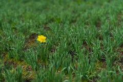 La première jonquille simple lumineuse, narcisse fleurissent parmi un bon nombre de feuilles vertes oncept de dissimilitude, pers photo libre de droits