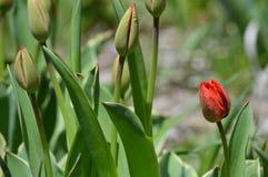 La première tulipe commençant à fleurir Photos stock