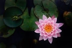 La première vue du beau lotus rose Images stock