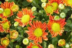 La première vue du chrysanthème orange hybride Image stock