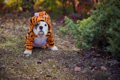 La presentación blanca roja de la piel del dogo inglés-francés del perrito se sienta para la cámara en el bosque salvaje que llev fotografía de archivo