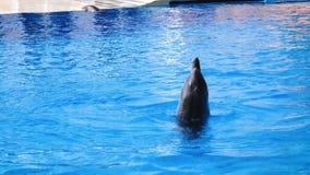 La prestazione dei delfini in dolphinarium stock footage