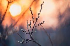 La prima fioritura germoglia nel tramonto immagini stock libere da diritti