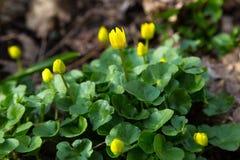 La prima molla fiorisce in una foresta - i palustris del Caltha, palude fotografie stock libere da diritti