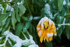La prima neve è caduto sui fiori arancio e gialli I fiori si congelano e muoiono dal primo gelo fotografia stock