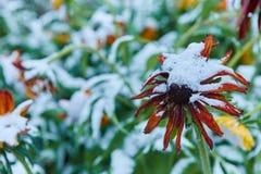 La prima neve è caduto sui fiori arancio e gialli I fiori si congelano e muoiono dal primo gelo immagini stock