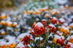 La prima neve è caduto sui fiori arancio e gialli I fiori si congelano e muoiono dal primo gelo fotografia stock libera da diritti