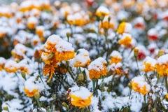 La prima neve è caduto sui fiori arancio e gialli I fiori si congelano e muoiono dal primo gelo immagine stock libera da diritti
