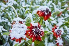 La prima neve è caduto sui fiori arancio e gialli I fiori si congelano e muoiono dal primo gelo immagine stock