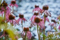 La prima neve è caduto sui fiori arancio e gialli I fiori si congelano e muoiono dal primo gelo fotografie stock