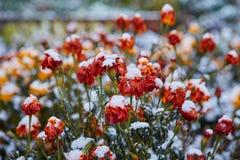 La prima neve è caduto sui fiori arancio e gialli I fiori si congelano e muoiono dal primo gelo fotografie stock libere da diritti