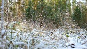 La prima neve nella foresta di autunno stock footage