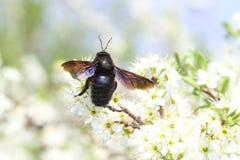 La primavera, abeja de carpintero poliniza las flores florecidas Fotos de archivo