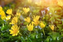 La primavera amarilla florece en el jardín con la abeja del vuelo y los rayos del sol emiten, foco suave Imagen de archivo