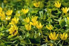 La primavera amarilla florece en el jardín con la abeja, foco suave Imagen de archivo libre de regalías