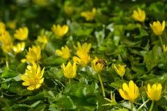 La primavera amarilla florece en el jardín con la abeja, foco suave Imagen de archivo