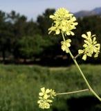 La primavera amarilla hermosa florece la floración en el primero plano de un campo Foto de archivo libre de regalías