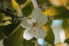 La primavera Apple sboccia Fotografia Stock