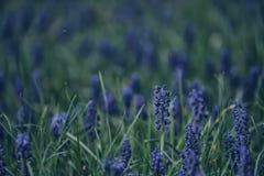 La primavera azul florece en una hierba verde en un prado Imágenes de archivo libres de regalías