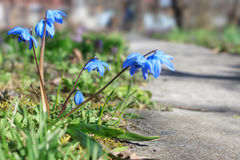 La primavera azul florece scilla Fotografía de archivo