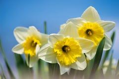 La primavera brotada florece narcisos en jardín temprano de la primavera Imágenes de archivo libres de regalías