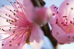 La primavera cercana para arriba de la floración rosada hermosa del árbol de nectarina florece con los pétalos en luz suave Imágenes de archivo libres de regalías