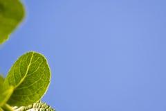 La primavera cercana para arriba de verde se va con el venation en fondo del cielo azul Foto de archivo libre de regalías