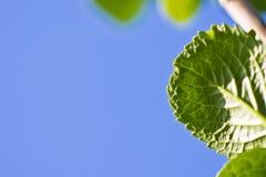 La primavera cercana para arriba de verde se va con el venation en fondo del cielo azul Fotos de archivo libres de regalías