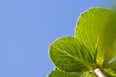 La primavera cercana para arriba de verde se va con el venation en fondo del cielo azul Fotografía de archivo libre de regalías