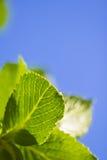 La primavera cercana para arriba de verde se va con el venation en fondo del cielo azul Fotografía de archivo