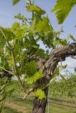 La primavera comincia l'uva sulla vite Fotografie Stock Libere da Diritti