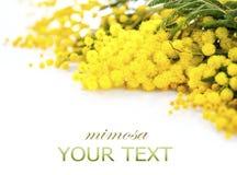 La primavera de la mimosa florece la frontera de la rama Fotos de archivo libres de regalías