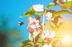 La primavera de polinización Sakura del abejorro de la abeja florece en el parque en el sol Imagenes de archivo