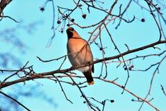 La primavera del boletín del waxwing del pájaro está viniendo fotos de archivo