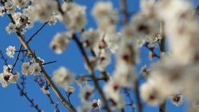 La primavera del flor de la floración del primer de Sakura del albaricoque florece el abejorro de la fertilización del jardín de  almacen de video