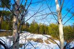 La primavera desheló el remiendo en el claro del bosque entre abedules Fotografía de archivo libre de regalías