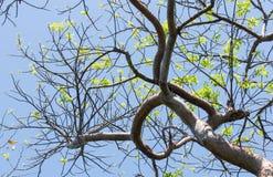La primavera di riflessione dell'albero del vuoto del gombo a Key West fotografia stock libera da diritti