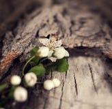 La primavera dramática florece en un fondo de madera rústico Imagen de archivo libre de regalías
