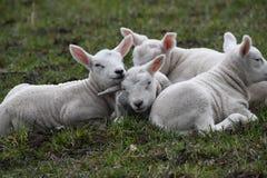 La primavera está allí para los corderos recién nacidos, finalmente afuera Fotografía de archivo