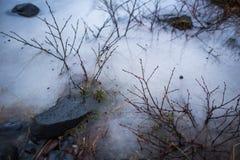 La primavera está en el aire, arbustos que crecen a través de nieve Imagen de archivo libre de regalías