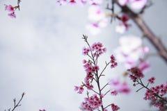 La primavera está viniendo, las flores de cerezo está floreciendo Imágenes de archivo libres de regalías