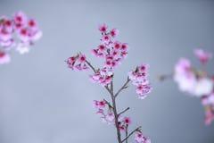 La primavera está viniendo, las flores de cerezo está floreciendo Fotografía de archivo