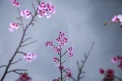 La primavera está viniendo, las flores de cerezo está floreciendo Foto de archivo libre de regalías
